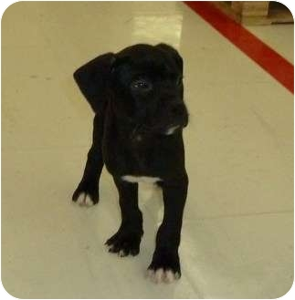 Labrador Retriever/Boxer Mix Puppy for adoption in South Haven, Michigan - Annie, Ace & more