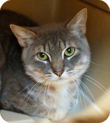 Domestic Shorthair Cat for adoption in Medford, Massachusetts - Smokey Joe
