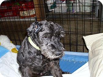 Schnauzer (Miniature) Dog for adoption in Port Clinton, Ohio - Jefferson