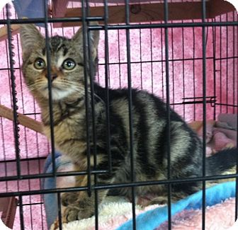 Domestic Shorthair Kitten for adoption in Red Bluff, California - Bella