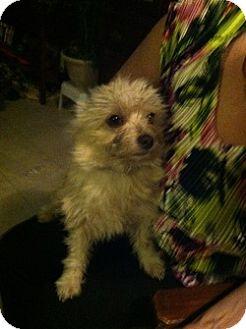 Maltese Mix Dog for adoption in Webster, Minnesota - Yazzie