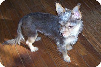 Chihuahua Mix Dog for adoption in Greensboro, Georgia - Tramp