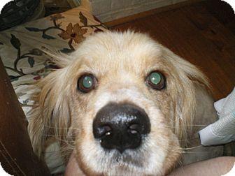 Cocker Spaniel/Basset Hound Mix Dog for adoption in Apex, North Carolina - Duranti