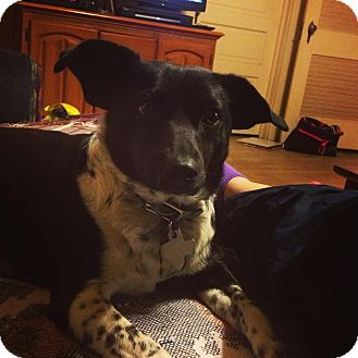 Terrier (Unknown Type, Small)/Border Collie Mix Dog for adoption in Snyder, Texas - Zoey