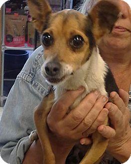 Rat Terrier Mix Dog for adoption in Chicago, Illinois - Popis