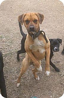 Boxer Mix Dog for adoption in Pittsburg, Kansas - Jesse