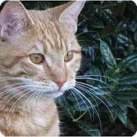 Adopt A Pet :: Mango - Sun City Center, FL
