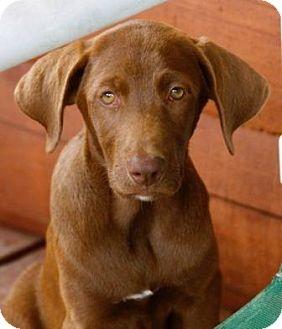 Labrador Retriever Mix Puppy for adoption in Allentown, Pennsylvania - Snickers