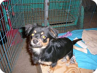 Pomeranian Mix Dog for adoption in Liberty Center, Ohio - Dempsey