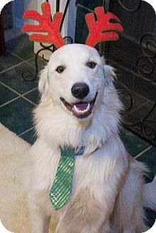 Great Pyrenees/Golden Retriever Mix Dog for adoption in Tulsa, Oklahoma - Lennon *Adopted