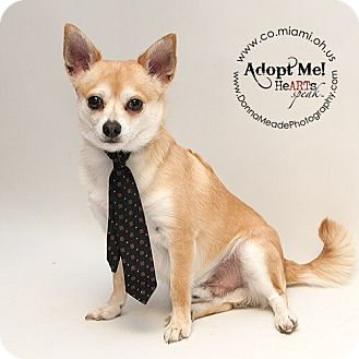 Chihuahua Dog for adoption in Troy, Ohio - Willie