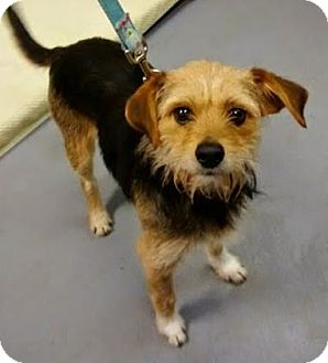 Border Terrier Mix Dog for adoption in Adrian, Michigan - Emily