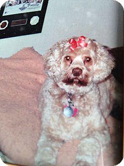 Cockapoo Mix Dog for adoption in Washington Crossing, Pennsylvania - Angel