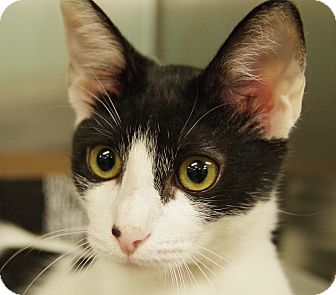 Domestic Shorthair Cat for adoption in Daytona Beach, Florida - Indie