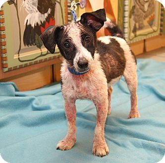 Jack Russell Terrier Mix Dog for adoption in Marietta, Ohio - P.J.