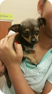 Chihuahua/Miniature Pinscher Mix Puppy for adoption in Phoenix, Arizona - lily
