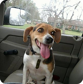 Beagle/Terrier (Unknown Type, Small) Mix Dog for adoption in Camilla, Georgia - Rina