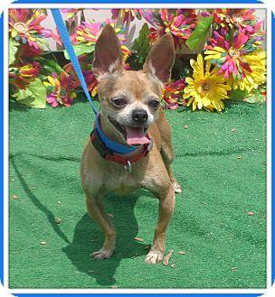 Chihuahua Mix Dog for adoption in Marietta, Georgia - SNOOPY (R)