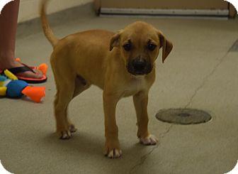 Labrador Retriever/Staffordshire Bull Terrier Mix Puppy for adoption in Bucyrus, Ohio - Sneezy
