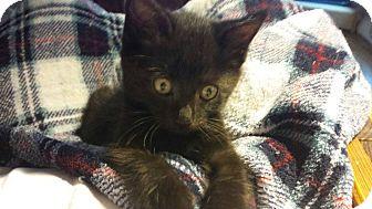 Domestic Shorthair Kitten for adoption in Burlington, North Carolina - JINGLE