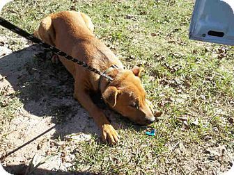 Labrador Retriever Mix Puppy for adoption in Newnan City, Georgia - Ambush