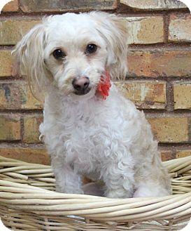 Poodle (Miniature) Mix Dog for adoption in Benbrook, Texas - Bernie
