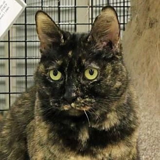 Domestic Shorthair/Domestic Shorthair Mix Cat for adoption in Morgan Hill, California - Akira