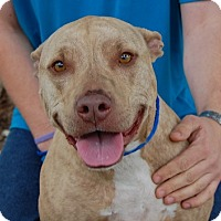 Adopt A Pet :: Lovey - Las Vegas, NV