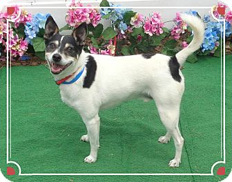Rat Terrier Dog for adoption in Marietta, Georgia - FRECKLES (R)