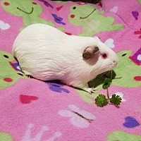 Guinea Pig for adoption in South Bend, Indiana - Monae