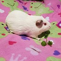 Adopt A Pet :: Monae - South Bend, IN