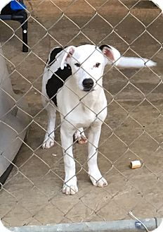 Terrier (Unknown Type, Small)/American Bulldog Mix Dog for adoption in Cairo, Georgia - Spade