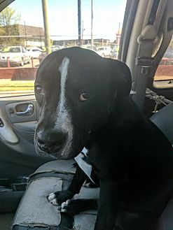 American Staffordshire Terrier/Pit Bull Terrier Mix Dog for adoption in Covington, Tennessee - Khaleesi