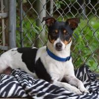 Jack Russell Terrier Mix Dog for adoption in New Freedom, Pennsylvania - Missy