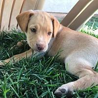 Adopt A Pet :: EV - Crestline, CA