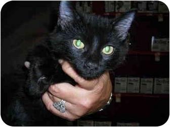 Domestic Shorthair Kitten for adoption in Riverside, Rhode Island - Liza