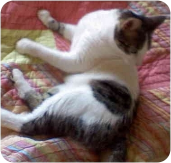 Domestic Shorthair Cat for adoption in St. Louis, Missouri - Laci