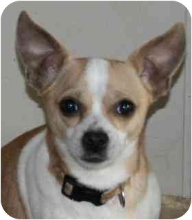 Chihuahua Mix Dog for adoption in House Springs, Missouri - Robby