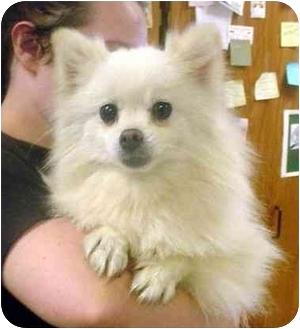 Pomeranian Dog for adoption in Manassas, Virginia - Ester