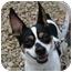 Photo 1 - Fox Terrier (Toy)/Rat Terrier Mix Dog for adoption in Berea, Ohio - Gidget