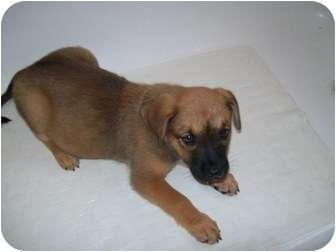 German Shepherd Dog Mix Puppy for adoption in Bel Air, Maryland - Shannon