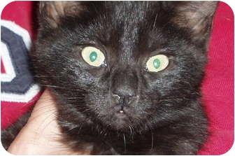 Domestic Shorthair Kitten for adoption in Westfield, Massachusetts - Kitten (black)