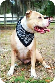 American Pit Bull Terrier Dog for adoption in Orlando, Florida - Axel
