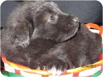 Labrador Retriever/Shepherd (Unknown Type) Mix Puppy for adoption in Warsaw, Indiana - Blitzen