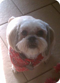 Lhasa Apso Mix Dog for adoption in Hales Corners, Wisconsin - Emo