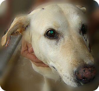 Labrador Retriever Mix Dog for adoption in Beaumont, Texas - Dandy