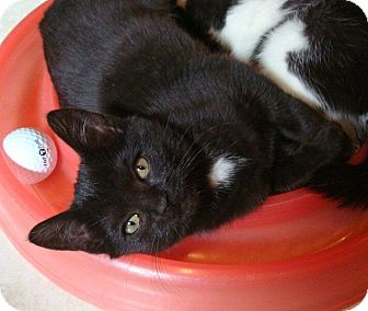 Domestic Shorthair Kitten for adoption in Port Republic, Maryland - Mindy