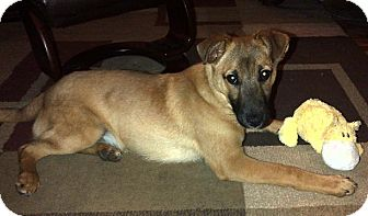 Collie Mix Dog for adoption in Cambridge, Ontario - Max