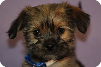 Yorkie, Yorkshire Terrier/Shih Tzu Mix Puppy for adoption in Broomfield, Colorado - TANGO