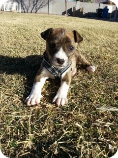 Pit Bull Terrier/Boxer Mix Puppy for adoption in Litchfield Park, Arizona - Marble - Only $95 adoption!
